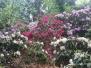 Rododendrony wkórnickim Arboretum