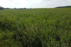 Niebieski szlak rowerowy: Duża pętla mrągowska;okolice Wierzbowa (co to za roślina? pięknie pachnie)