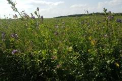 Niebieski szlak rowerowy: Duża pętla mrągowska;okolice Wierzbowa(co to za roślina? pięknie pachnie)